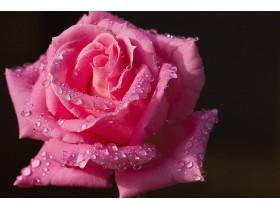 """Отдушка """"Мокрая роза"""" 12 мл"""